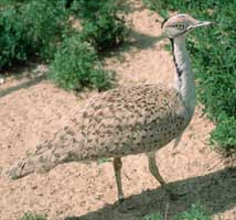 A houbara bustard.