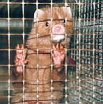 A caged mink on a fur farm. The mink will be eventually slaughtered for its fur.
