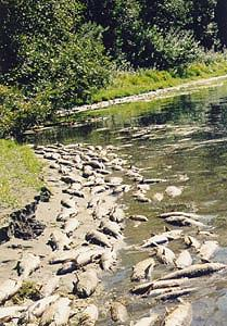 Some of the tens of thousands of salmon killed due to the artificial water lowering by the Department of the Interior.