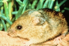 The salt marsh harvest mouse, currently receiving no funding from the Obama stimulus package.